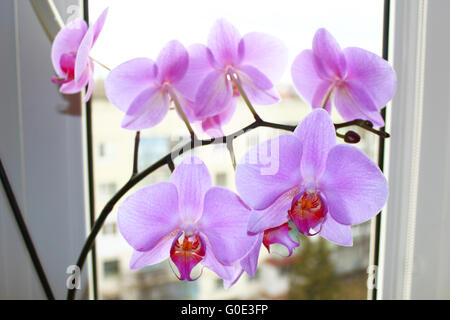 beautiful branch of the blossoming pink orchid at - Stock Photo