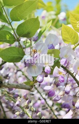 German wasp pollinating wisteria flowers on a sunny spring day - Stock Photo