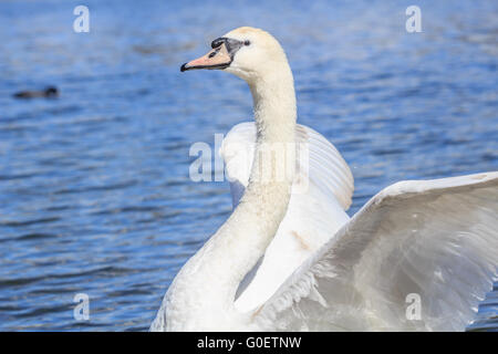 Scientific Name Cygnus  Swan stretching it wing while swimming in the Serpentine Lake at Hyde park London UK. - Stock Photo