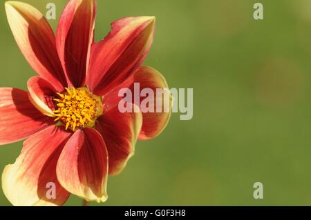 dahlia, flower - Stock Photo