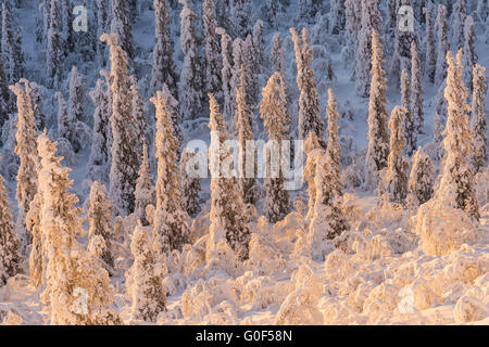 snow covered trees in sunlight, Lapland, Sweden - Stock Photo