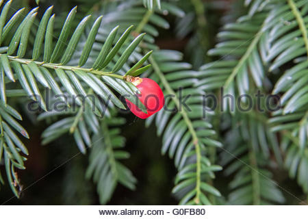 Yew branch with red seed coat - Stock Photo
