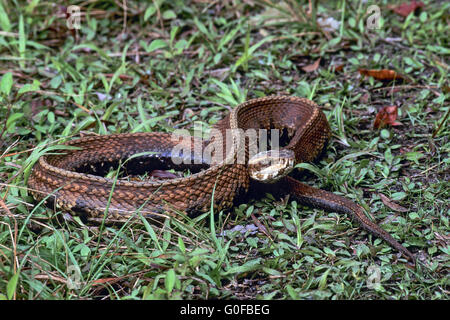 Water Moccasin Its Diet Consists Mainly Of Fish Stock Photo