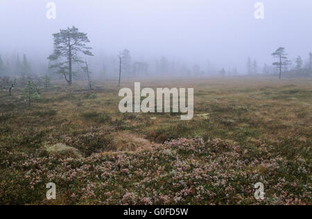 Hill moor in fog with moor grass and blueberries in fall - Stock Photo