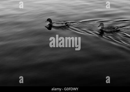 Pair of Mallard ducks swimming on lake Mendota. - Stock Photo