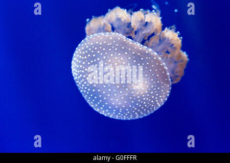 Closeup of an australian spotted jellyfish, phyllorhiza punctata. This jellyfish is native to the West Pacific from - Stock Photo