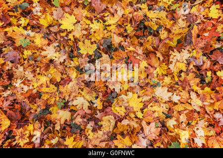 Fall, orange and yellow  leaves on ground - Stock Photo