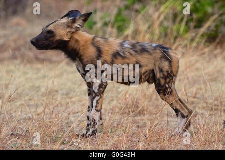 painted dog puppy at chobe - Stock Photo