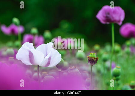 Poppy white and purple