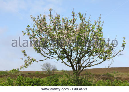 Blossoming apple tree in the heath - Stock Photo