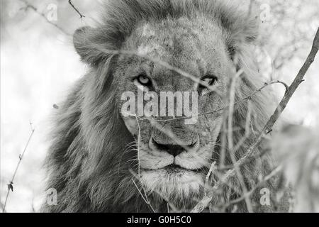 portrait of a angry male lion at kruger national park south africa - Stock Photo