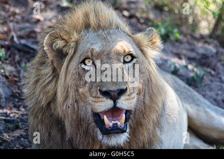 portrait of a angry male lion at kruger national park - Stock Photo