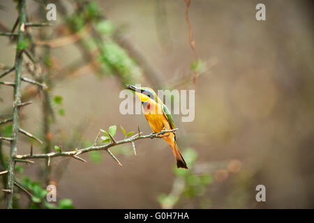 little bee-eater (Merops pusillus), Lake Manyara National Park, Tanzania, Africa - Stock Photo