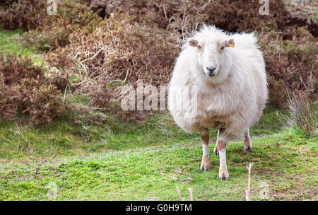 Mountain Sheep Standing on Green Grass - Stock Photo