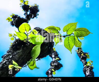 Linden-tree leaves (Tilia platyphyllos) in early spring - Stock Photo