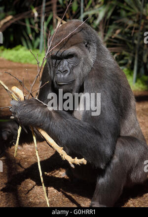 Young captive Gorilla collecting sticks to nibble - Stock Photo