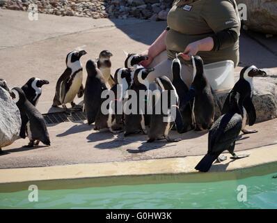 Zoo keeper feeding African Penguins poolside - Stock Photo