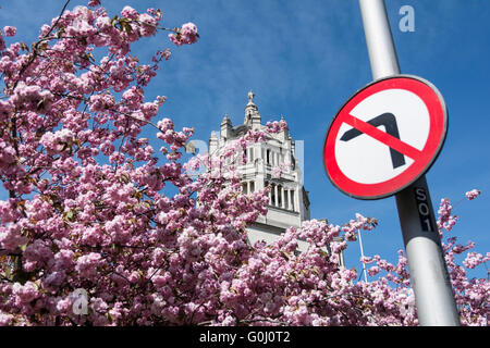 No Left Turn road sign in front of Cherry Blossom in South Kensington in London's museum quarter - Stock Photo