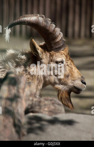 West Caucasian tur (Capra caucasica), also known as the West Caucasian ibex at Dresden Zoo, Saxony, Germany. - Stock Photo