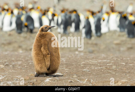 King penguin Aptenodytes patagonicus, chick standing in front of breeding colony, Fortuna Bay, South Georgia in - Stock Photo