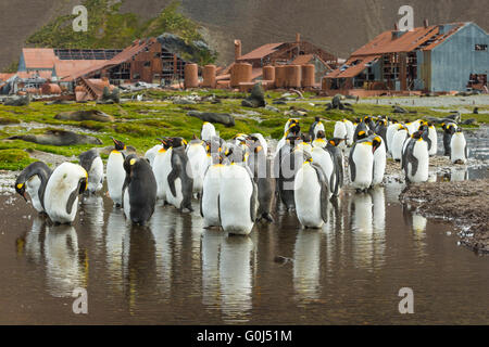 King penguin Aptenodytes patagonicus, adults, bathing & preening by whaling station, Stromness, South Georgia in - Stock Photo
