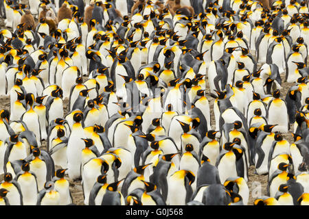 King penguin Aptenodytes patagonicus, tightly packed breeding colony, St. Andrew's Bay, South Georgia in January. - Stock Photo
