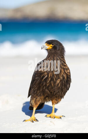 Striated caracara Phalcoboenus australis, adult, patrolling sandy shoreline, New Island, Falkland Islands in December. - Stock Photo