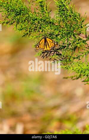 Selective focus on monarch butterfly resting on evergreen branch.  Bokeh provides copy space in vertical image. - Stock Photo