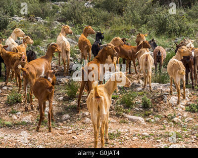 Herding goats. Sierra de las Nieves Natural Park. Málaga Andalusia, Spain Europe - Stock Photo
