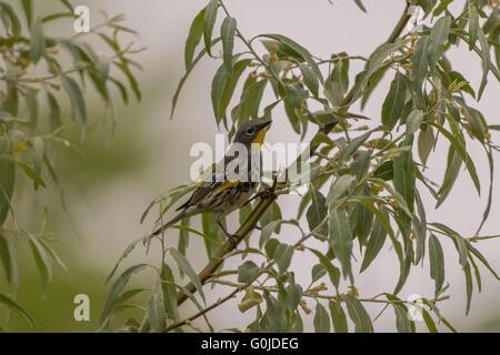 Audubon's Yellow-rumped Warbler, (Setophaga coronata), in Russian Olive, (Elaeagnus angustifolia).  Bosque del Apache - Stock Photo