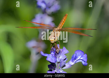 Dragonfly on blue flower in the garden closeup - Stock Photo