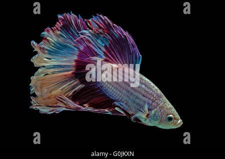 Betta aquarium fighting fish, black background - Stock Photo