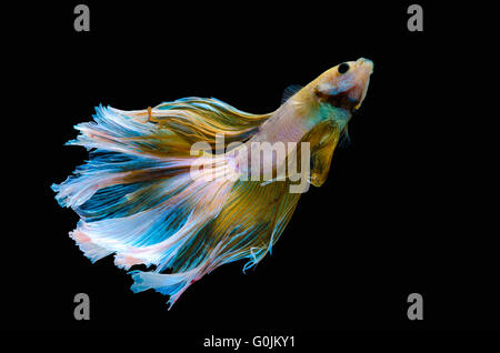 Betta Siamese aquarium fighting fish, black background - Stock Photo