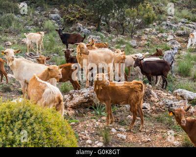 Herding goats. Sierra de las Nieves Natural Park. Málaga Andalusia, Spain Europe - Stock Photo