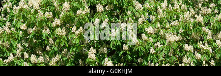 branches and leaves of chestnut tree at spring - Stock Photo