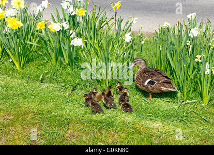 A female Mallard with ducklings in the village centre of South Creake, Norfolk, England, United Kingdom. - Stock Photo