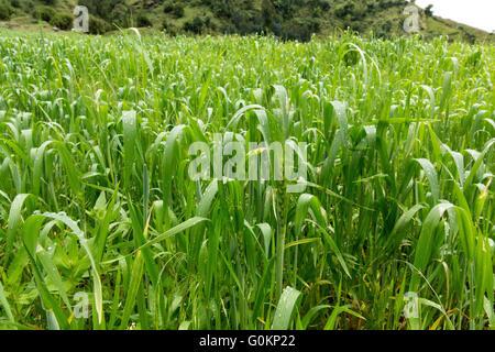Gibi village Gurage, Ethiopia, October 2013 A field of barley. - Stock Photo