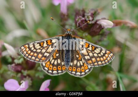 Marsh Fritillary butterfly resting on Common Lousewort, Cumbria UK - Stock Photo