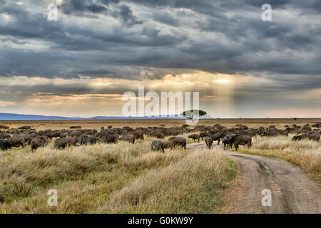 herd of African buffalos (Syncerus caffer) at sunset in Serengeti National Park, UNESCO world heritage site, Tanzania - Stock Photo