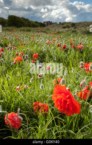 A field of large poppies on the Northumberland coastline with Bamburgh castle just peeking over the dunes in the - Stock Photo