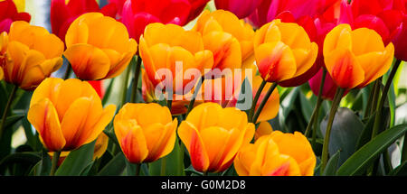 Tulips bloom during the annual Tulip Festival in Skagit County, Washington - Stock Photo