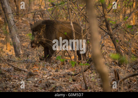 A wild boar adult male with tusks, in Sasan Gir, Gujarat, India - Stock Photo