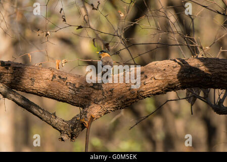 The The brahminy myna or brahminy starling at Sasan Gir, Gujarat, India - Stock Photo