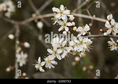 Flowers on blackthorn or sloe, Prunus spinosa, on a leafless hedge bush in spring, Berkshire, April - Stock Photo