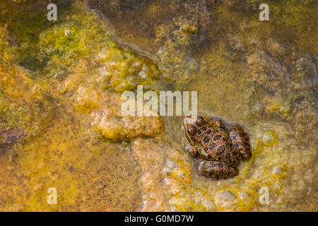 Northern Leopard Frog background - Stock Photo