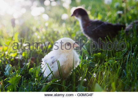Fuzzy yellow chick in sunny grass - Stock Photo