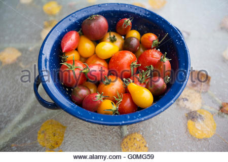 Still life variety fresh organic tomatoes in strainer - Stock Photo