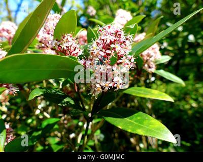 Japanese Skimmia, Skimmia japonica rubella blooming - Stock Photo