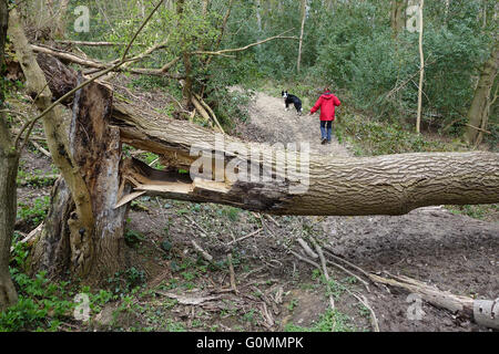 Fallen diseased Ash Tree in Shropshire Woodland England Uk - Stock Photo