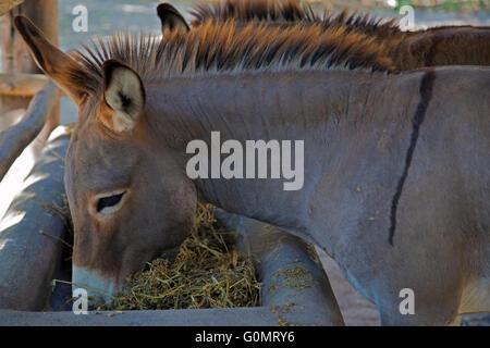 Donkey eating hay in sanctuary at Sandos Caracol Eco Resort - Stock Photo